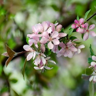 흐릿한 배경에 대해 분홍색 사과 나무 꽃의 선택적 초점 매크로 사진. 봄 계절 낭만적 인 배경