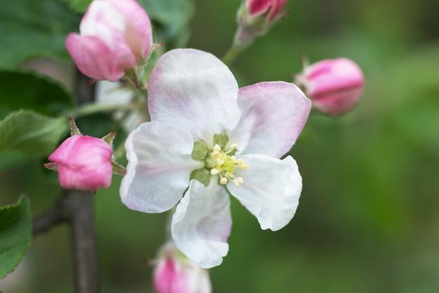 흐린 배경에 흰색 사과 나무 꽃의 선택적 초점 매크로 사진. 봄 계절 낭만적 인 배경