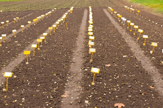 冬前の苗の選択的な植え付け。セレクティブフォーカス。