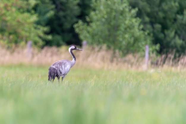 Selective shot of a common crane in a field under the sunlight  with a blurry background