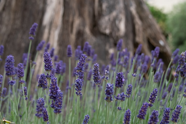 Selective shot of  english lavender field with a tree