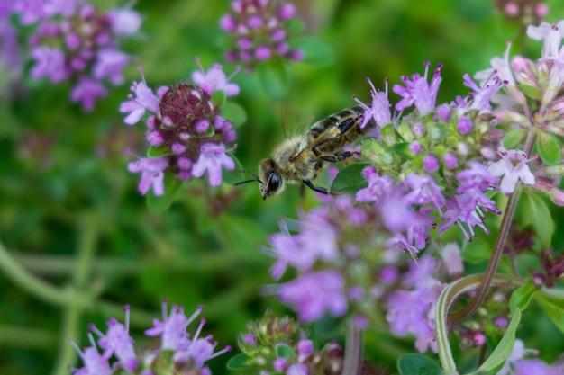 Селективный снимок медоносной пчелы, сидящей на фиолетовом цветке