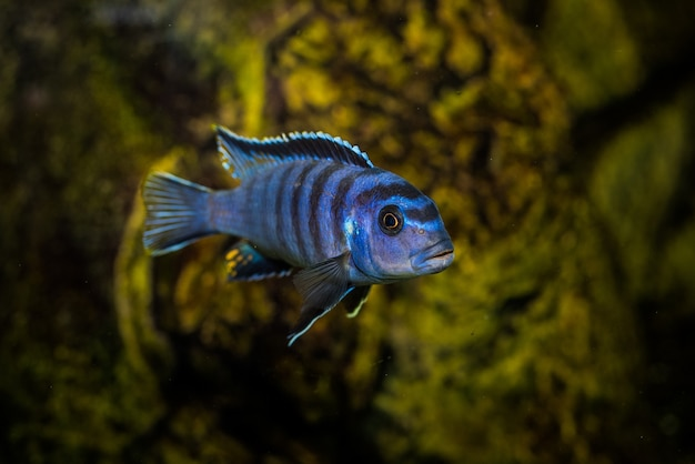 黒の模様の水族館ブルーのセレクティブショットシクリッドの魚