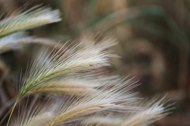 黄金の夕日の光で風に吹かれる乾いた草、葦、茎の選択的なソフトフォーカス