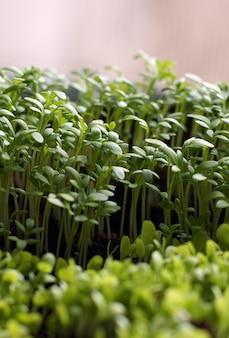 野菜を植えるための苗の自己栽培。