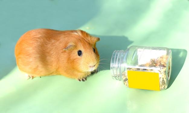 Самостоятельная морская свинка ест лакомство из бутылки