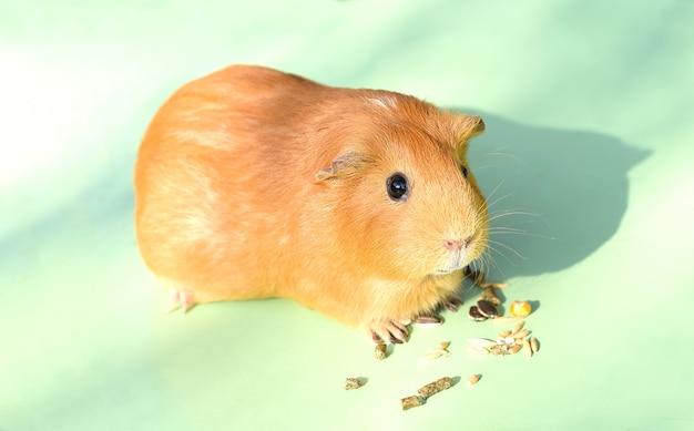 Самостоятельная еда морской свинки лакомства
