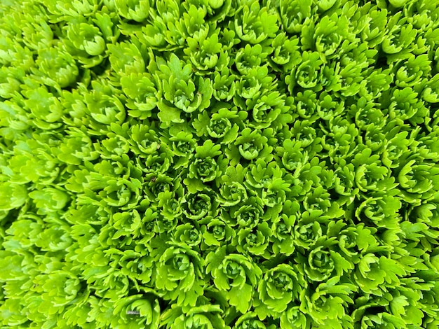 Sempervivum greanは、マクロの背景を残します。抽象的な多肉植物の写真