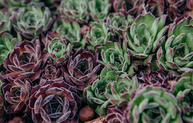 Sempervivum tectorum、common houseleek-植木鉢で育つ多年生植物。自然の中のセンペルビウム