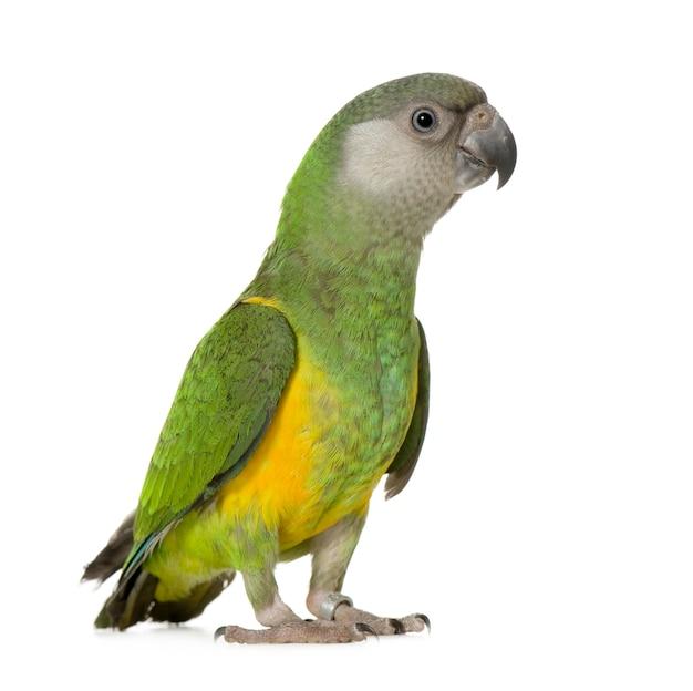 Попугай сенегал - изолированный poicephalus senegalus