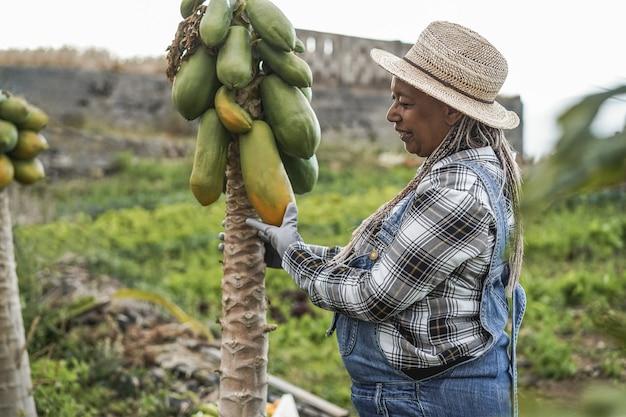 파파야 과일을 따기 동안 정원에서 일하는 수석 아프리카 농부 여자-여자 팔에 초점