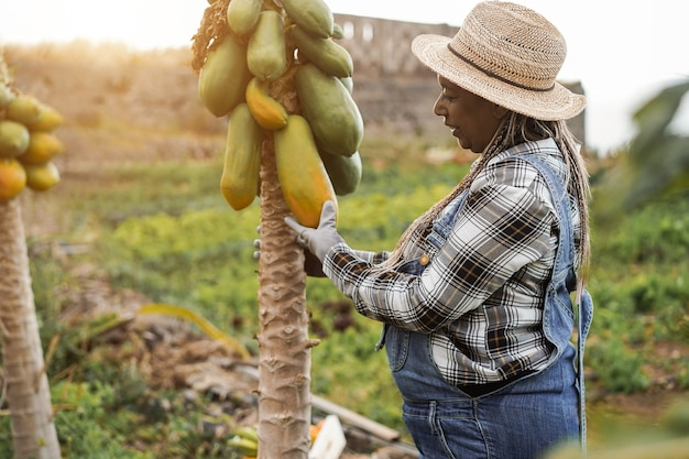 Senior african farmer woman working at garden while picking up papaya fruit - focus on hat