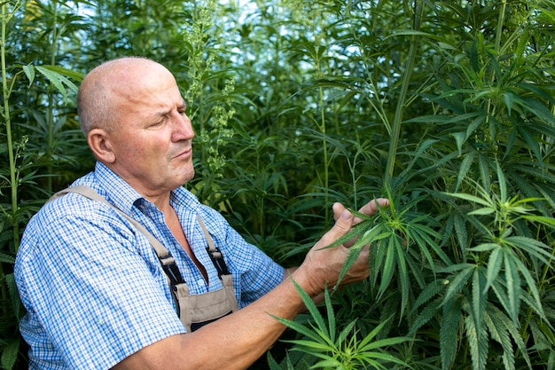 Senior agronomist checking quality of cannabis or hemp leaves in the field.