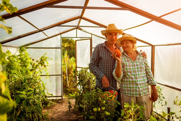 Senior couple woman and man gathering crop of tomatoes at greenhouse on farm.