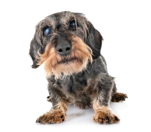 Senior dachshund in studio