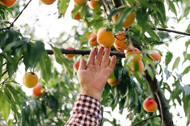 수석 농부 남자는 나뭇 가지에 매달려 태양에 익은 큰 잘 익은 복숭아 과일을 선택합니다