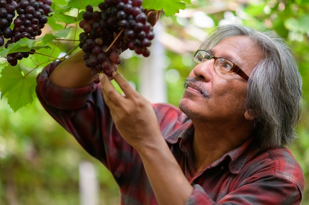 収穫したての黒または青のブドウを持ったシニアファーマーズハンド。老人農家の手はブドウを摘み、幸せな笑顔。