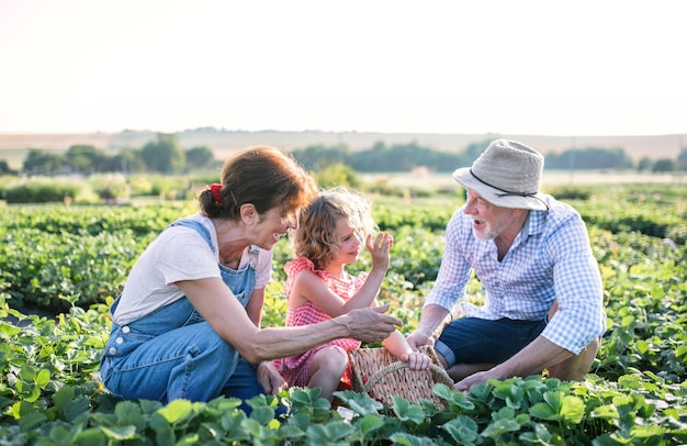 Senior grandparents and granddaughter picking strawberries on the farm. man, woman and a small girl working.