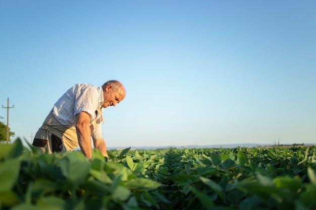 Agronomo agricoltore laborioso senior nel campo di soia controllando i raccolti prima del raccolto
