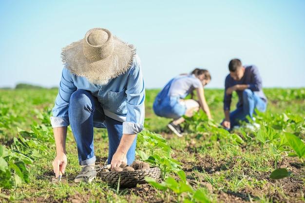 畑で収穫を集めるシニア男性農家
