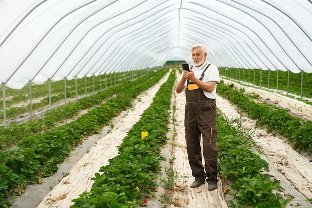 Senior man caring for strawberries in spacious greenhouse