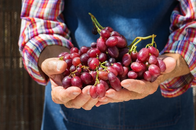 有機ブドウの収穫を保持している年配の男性農民労働者