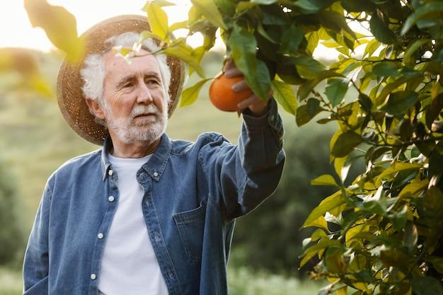 Старший мужчина собирает свежие апельсины