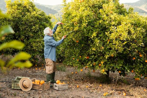 Uomo maggiore che raccoglie alberi di arancio
