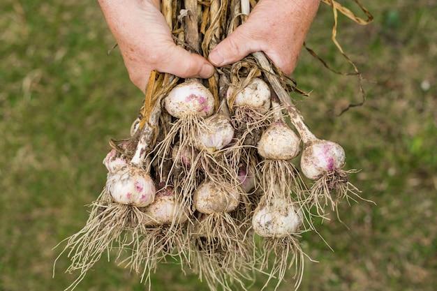 Старший мужчина держит в руке свежий чеснок после сбора урожая в своем огромном саду