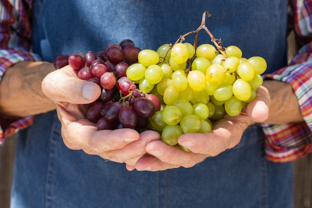 Старший мужчина держит в руках урожай винограда