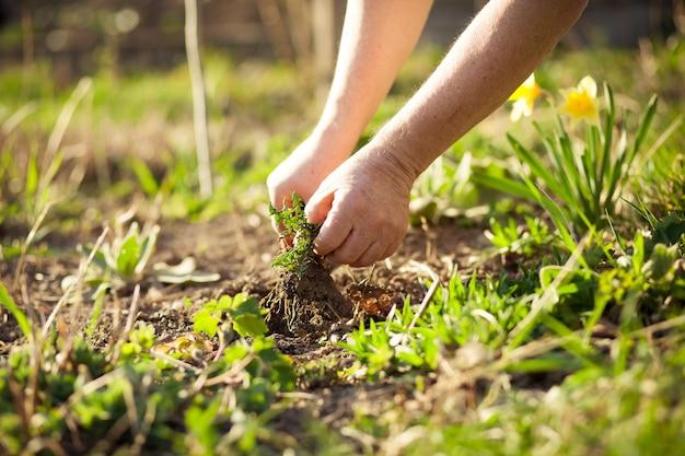 春の間に彼の広大な庭でいくつかの雑草を引き出し、冬の後に庭をきれいにする年配の男性