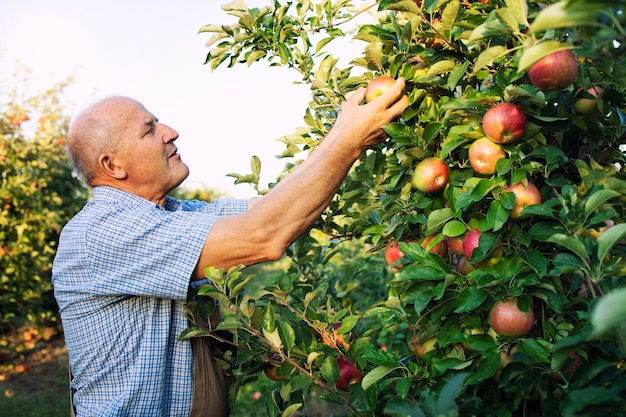 Senior man worker picking up apples in fruit orchard
