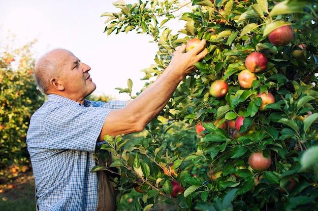 Старший рабочий мужчина собирает яблоки в фруктовом саду