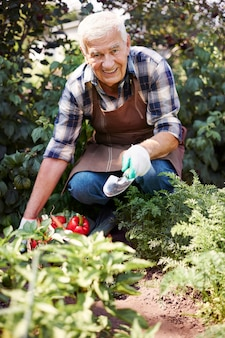 Senior man working in the field with a chest of vegetables