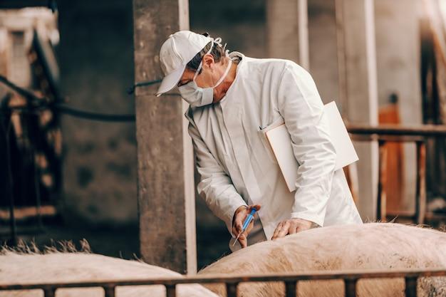Старший ветеринар в белом халате, шляпе и с защитной маской на лице держит буфер обмена под мышкой и делает инъекцию свинье, стоя в коте.