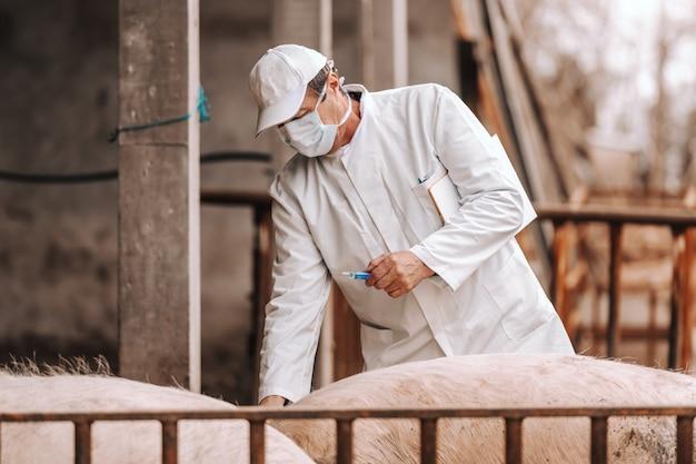 흰색 코트, 모자 및 겨드랑이에서 클립 보드를 들고 코트에 서있는 동안 돼지에 주입을 준비하는 얼굴에 보호 마스크 수석 수 의사.