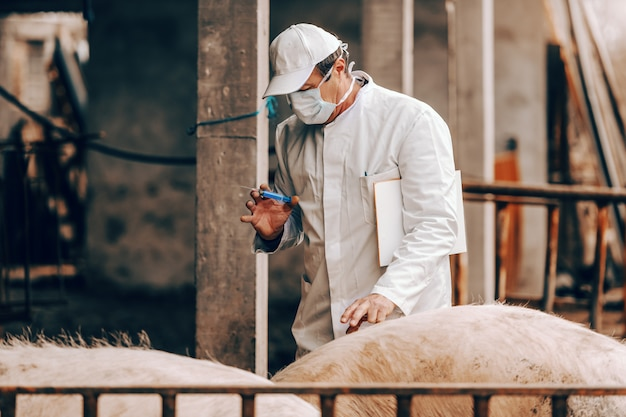 Senior veterinarian in white coat, hat and with protective mask on face holding clipboard under the armpit and preparing to give injection to a pig while standing in a cote.