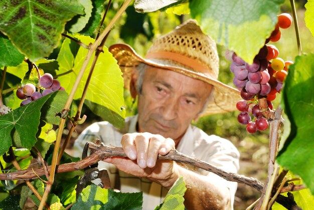 Senior winemaker cuts grape twigs