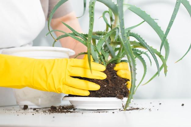 노란색 장갑 실내와 식물을 돌보는 고위 여자