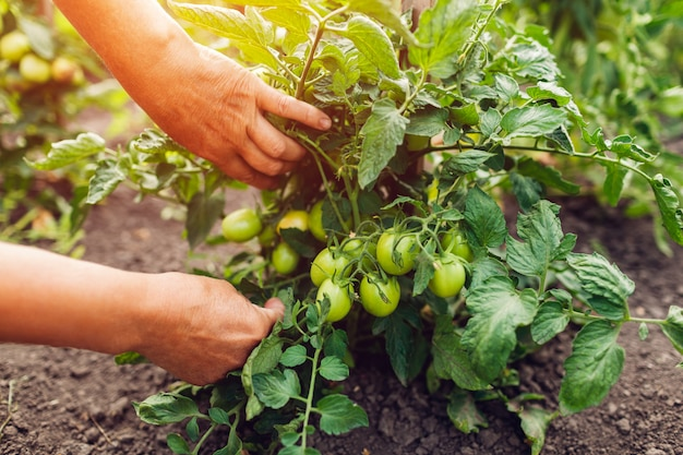 Senior woman farmer checking green tomatoes growing on farm