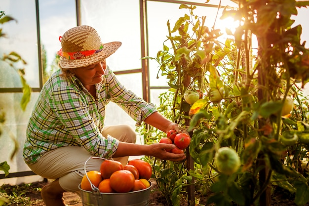 年配の女性農家の農場の温室でトマトの作物を収集します。