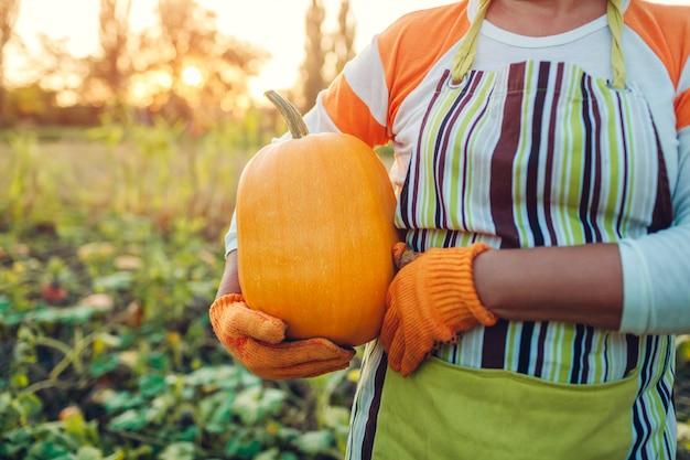 Senior woman farmer picking autumn crop of pumpkins on farm