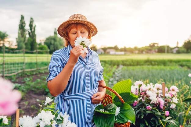 Старшая женщина собирая и пахнуть цветки в саде. пожилая пенсионерка кладет пионы в корзину. весенняя природа