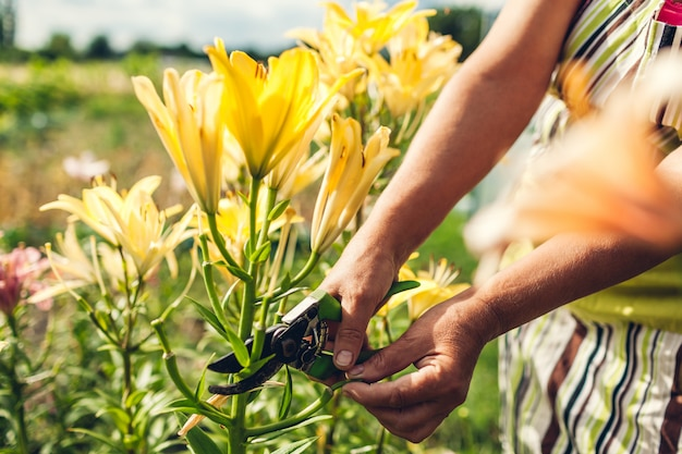 Senior woman gathering dry flowers in garden. middle-aged gardener cutting lilies off with pruner.
