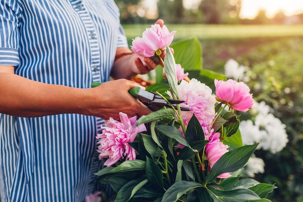 Senior woman gathering flowers in garden. elderly retired woman cutting peonies with pruner