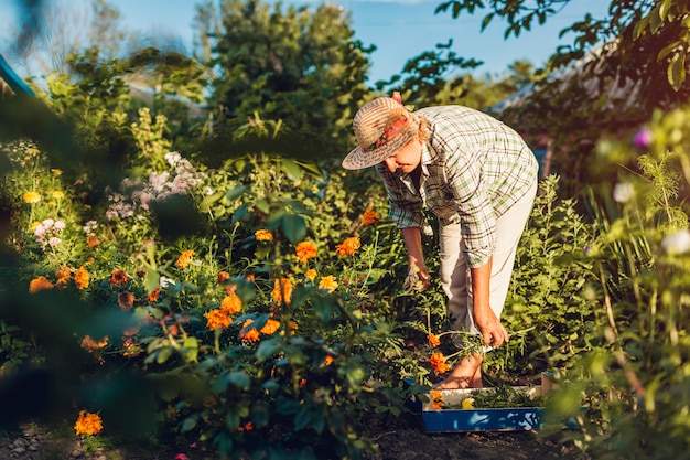 Senior woman gathering flowers in garden. middle-aged woman cutting flowers off using pruner.