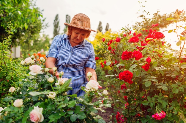 Senior woman gathering flowers in garden. middle-aged woman hugging pink rose bush.