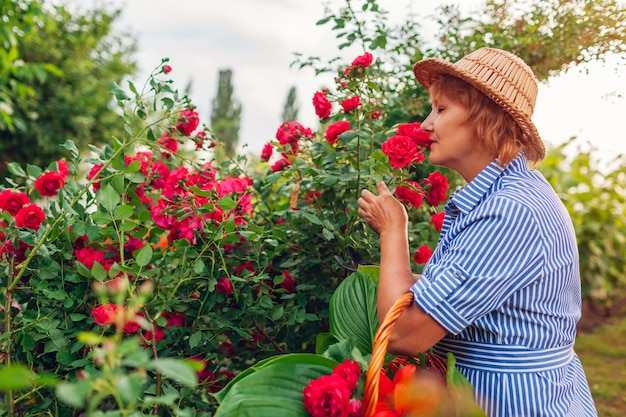 Senior woman gathering flowers in garden. middle-aged woman smelling and cutting roses off.