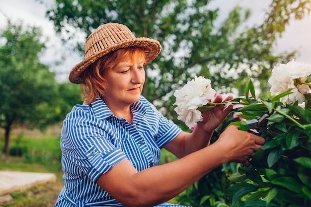年配の女性が庭で花を集めます。高齢者の引退した剪定はさみで牡丹をカットします。趣味を楽しむ庭師