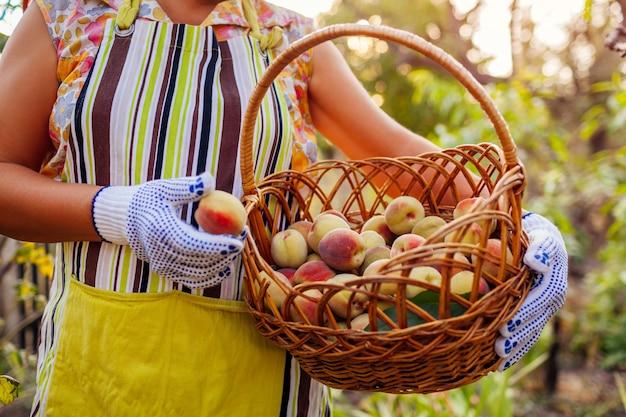 Senior woman holding basket with ripe organic peaches in summer orchard